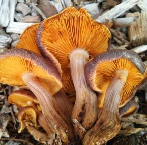Gymnopilus dilepis, onderkant