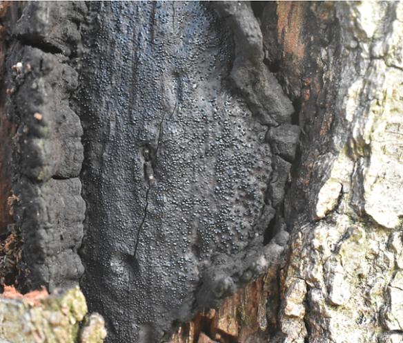 zwarte korstkogelzwam